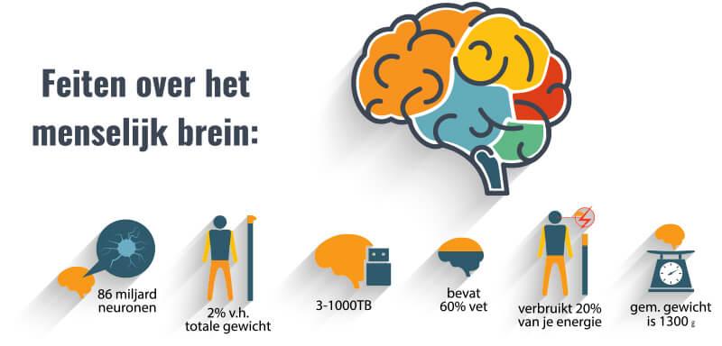 feiten over het menselijk brein